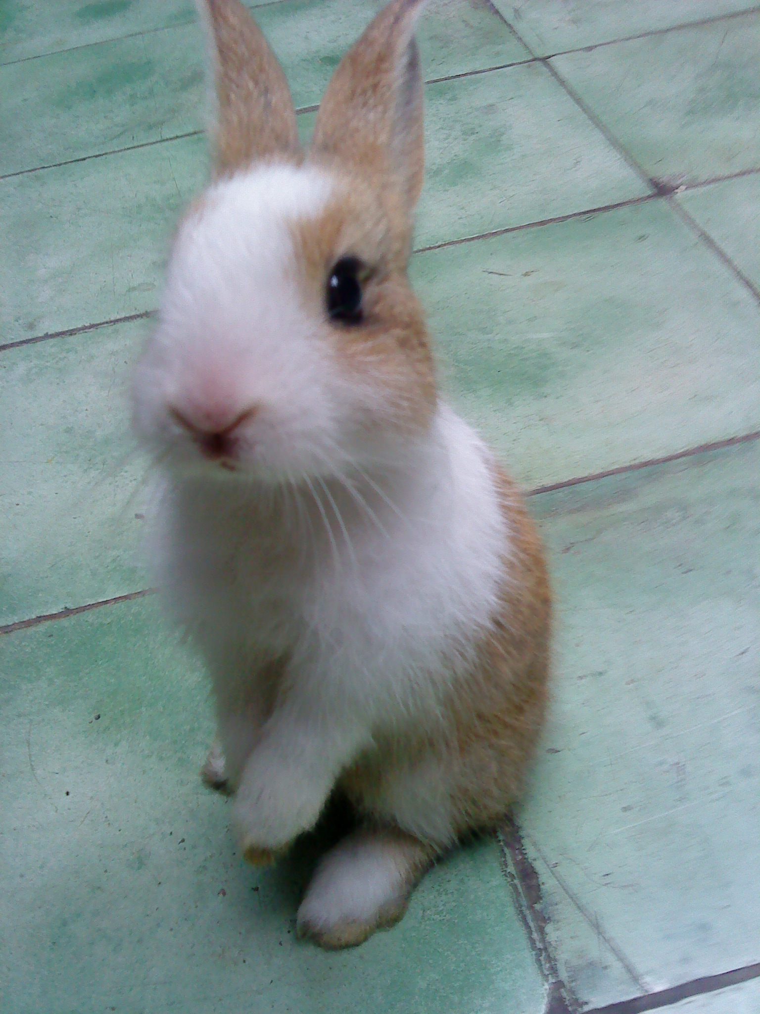 """my pet rabbit When people talk about """"health hazards"""" from pets, everyone thinks first and  foremost of diseases from this point of view, pet rabbits are brilliant, and for the."""